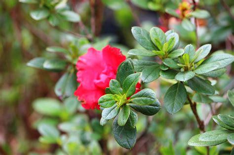 Lipstik Bunga jual tanaman hias bunga azalea tumpuk lipstik kayyisa fam