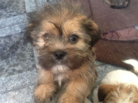 shorkie tzu puppies for sale 1 stunning shorkie tzu pup for sale carmarthen carmarthenshire pets4homes