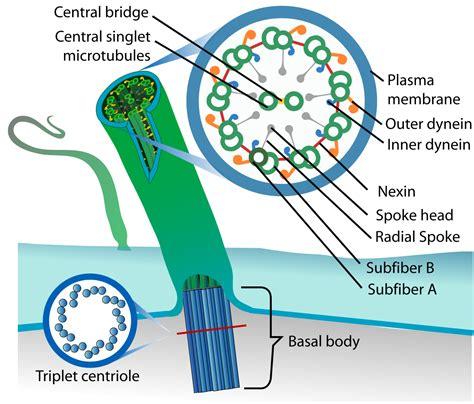 diagram of flagella file eukaryotic cilium diagram en svg wikimedia commons