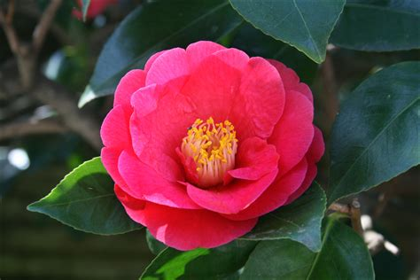camellias steve s genealogy blog