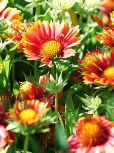 the best drought tolerant perennials garden pinterest