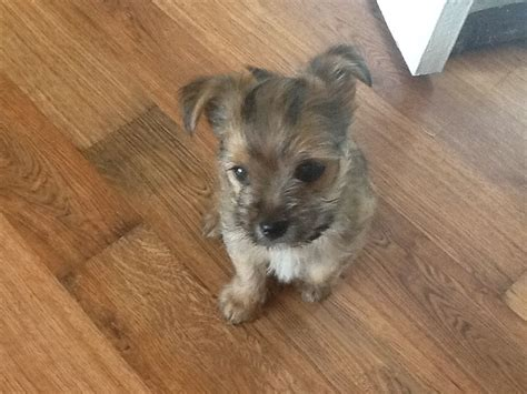 Small Dogs Home Walsall Yorkie X Chihuahua Walsall West Midlands Pets4homes