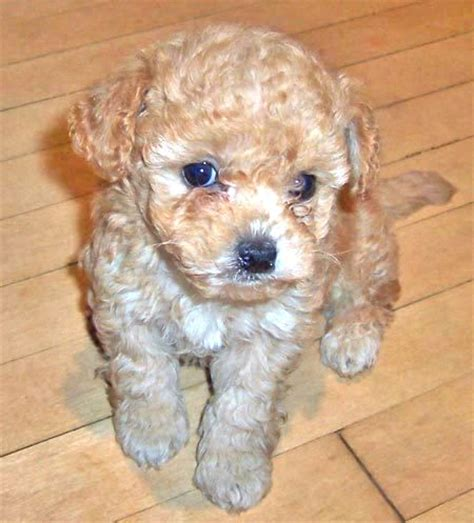 poodle shih tzu terrier mix teacup shih tzu poodle mix photo happy heaven