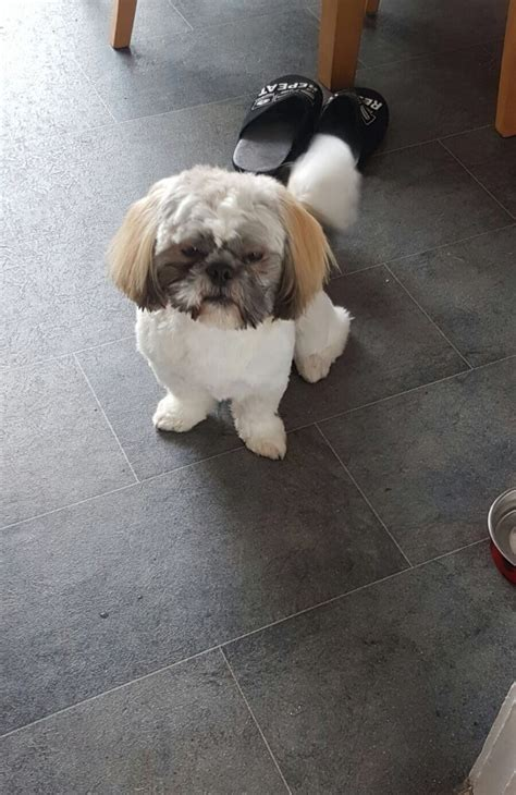 shih tzu birmingham ted the shih tzu birmingham west midlands pets4homes
