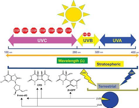uv l and wavelength uv wavelength dependent dna damage and human non melanoma