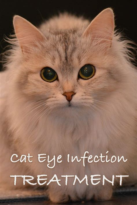 eye infection drops eye infection in cats pictures cats