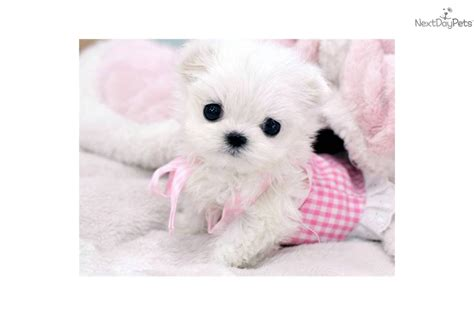 maltese puppy price maltese puppy for sale near west palm florida 351d0696 b1c1