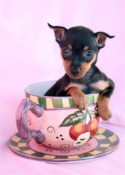 teacup miniature pinscher puppies for sale miniature pinscher min pin puppies for sale by teacups puppies boutique teacups
