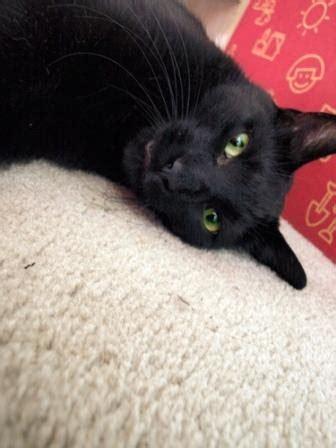 gatos en casa gato bombay una pantera negra en casa
