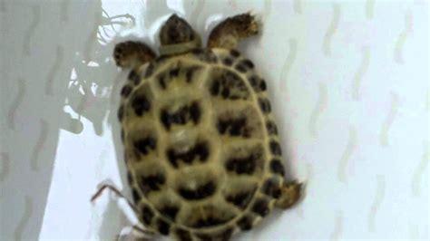 how to bathe a how to bath a tortoise