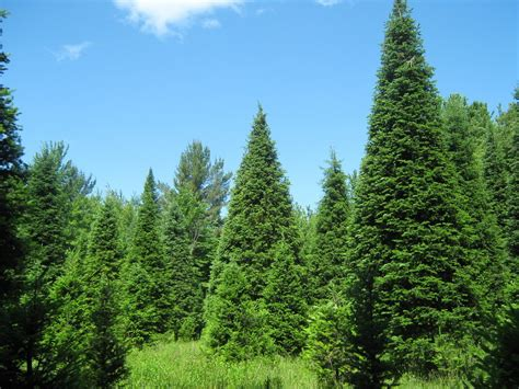 what is the most fragrant fir tree for christmas the five most popular trees series 3 balsam fir this favorite is known for