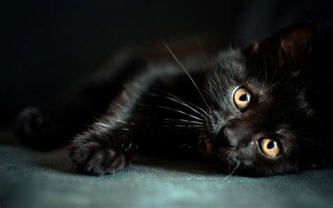 cat wallpaper download hd black cats hd wallpapers beautiful pictures images hd
