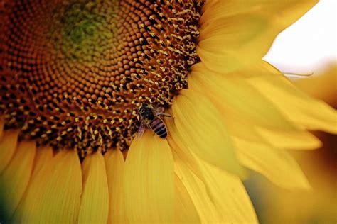 sunflower fields forever kansas city photographer sunflower fields forever kansas city photographer