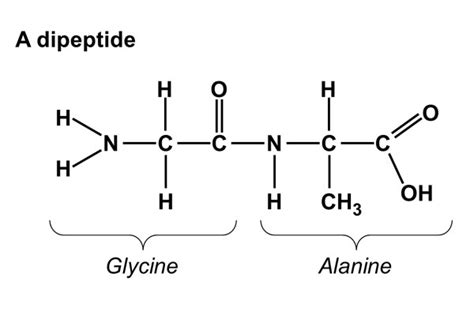 diagram of peptide bond amino acids avisala