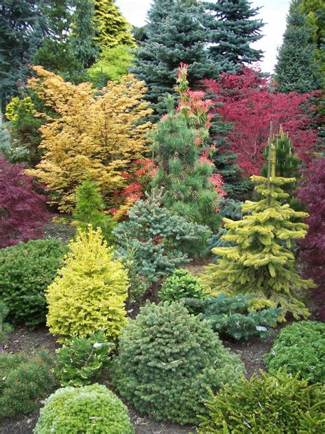 amazing conifer garden japanese maples provide additional color and a temporal aspect