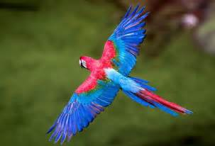 big colorful bird blue birds flying 10 photography cas we