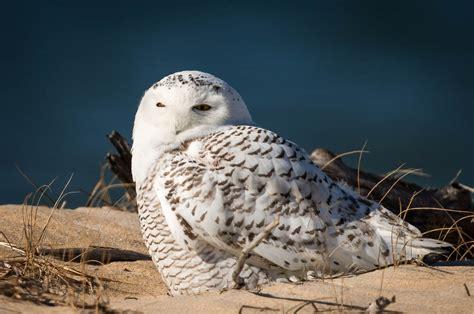 snowy owl irruption wp3 photography