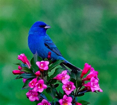 bright indigo bunting on bright pink fuchsia colored