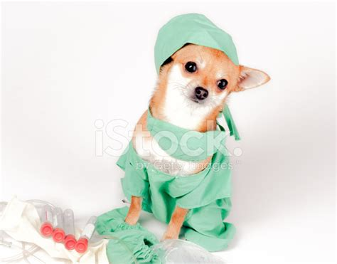 puppy scrubs chihuahua dressed in scrubs as doctor for stock photos freeimages