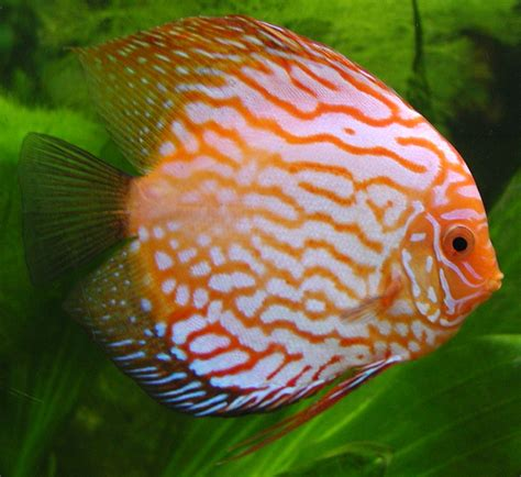 freshwater fish the discus fish