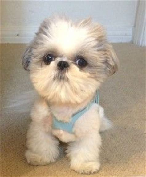 5 lb shih tzu 20 best images about shih tzu grooms on plymouth cornwall and graphic