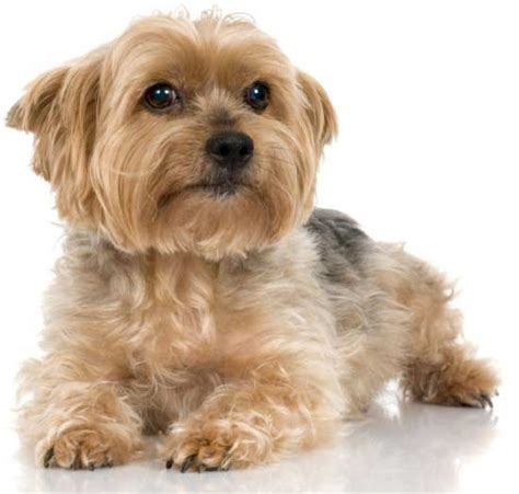 yorkie terrier yorkie colors terrier coat colors yorkiemag