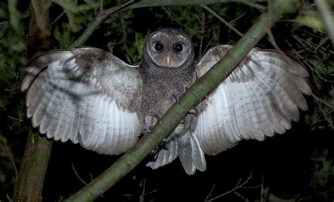 Black Owl Home sooty owl owlkingdom