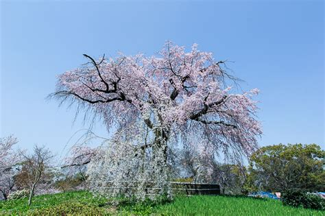 Cherry Tree 2015 Parents Guide Cherry Blossom Report 2015 Kyoto Report
