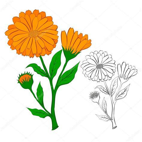 fiore di calendula il fiore di calendula vettoriali stock 169 lisagerrard