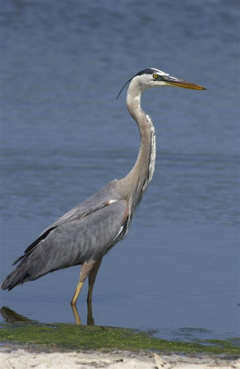 what color is heron great blue heron krcu