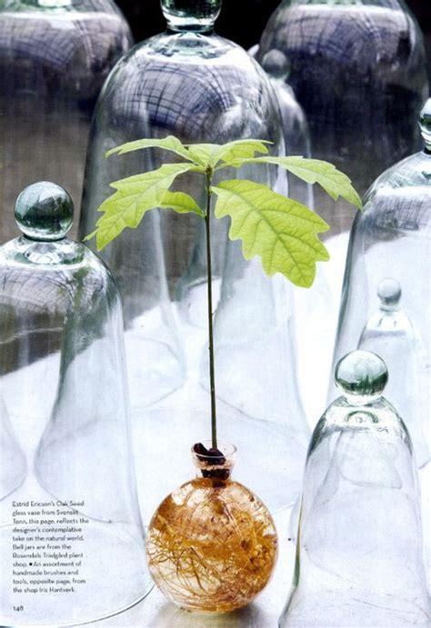 grow  oak tree   acorn oak tree trees  plant