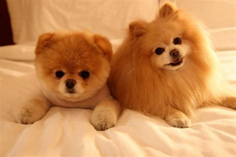 adorable pomeranians meet boo the cutest pomeranian damn cool pictures