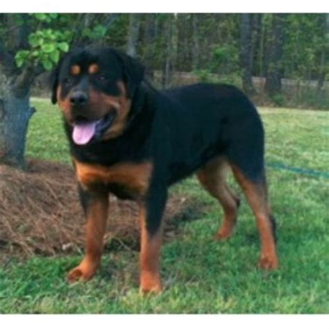 southern arizona rottweiler rescue southern bred rotts rottweiler breeder in brandon mississippi