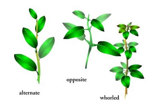 the pattern of leaf arrangement is called different types of leaves quotes
