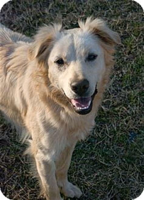 greensboro golden retriever rescue adopted adopted greensboro ga border collie golden retriever mix