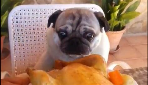 chicken pug pug enjoys chicken feast