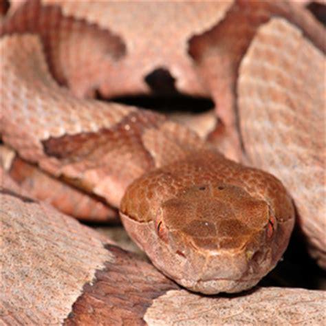 copperhead bite snake bites types symptoms treatments