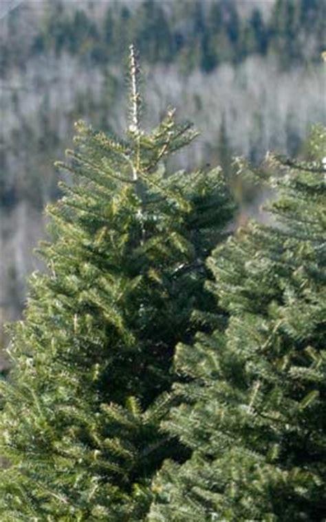 christmas tree planting stock weir tree farms