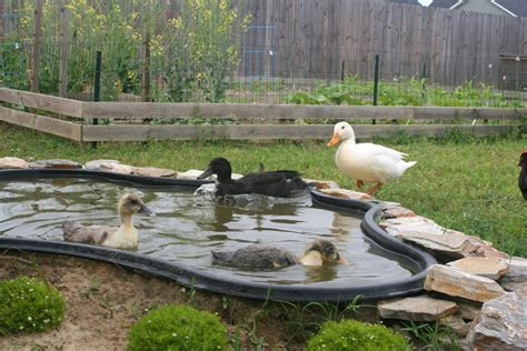 backyard duck pond water therapy the escape and the return to the pond