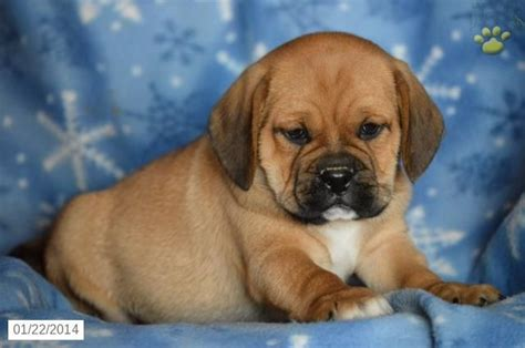 puggle puppies for sale in michigan 17 best images about puggles on puggle puppies beans and all black