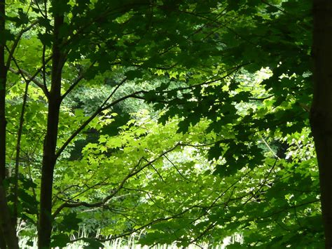 Trees With Canopy Tree Canopy Photograph By Angela Hansen