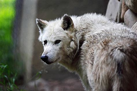 google images wolf google execs thrown to the privacy wolves in italy