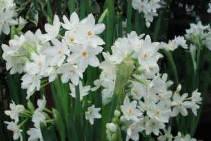 Paperwhite Flowers Paperwhite Narcissus Sperling Nursery Amp Gift Shop