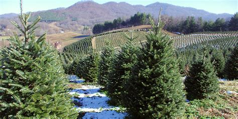 christmas tree farms asheville nc mountains