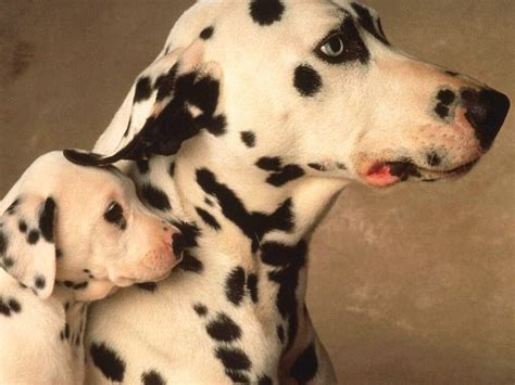 baby dalmatian puppies dalmatian with baby photo and wallpaper beautiful dalmatian with baby pictures