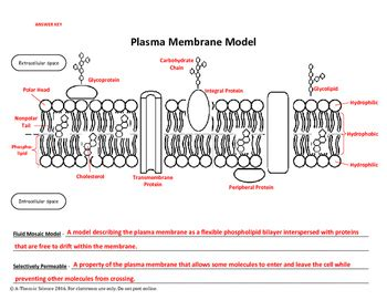 bilayer haircut cut paste plasma membrane model by a thom ic science tpt