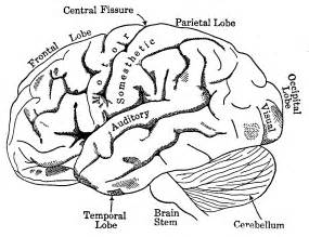 coloring page brain lobes of the brain in chapter 02 human nervous system