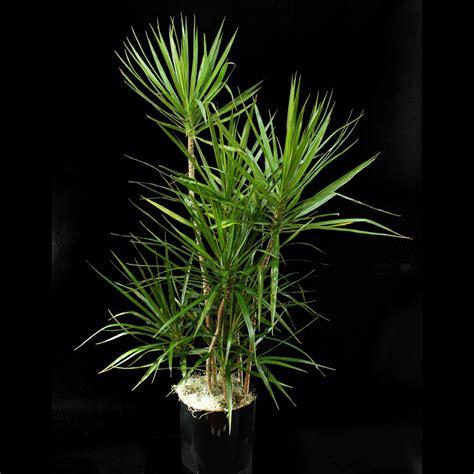dracaena marginata dracaena marginata plant ariston flowers and boutique