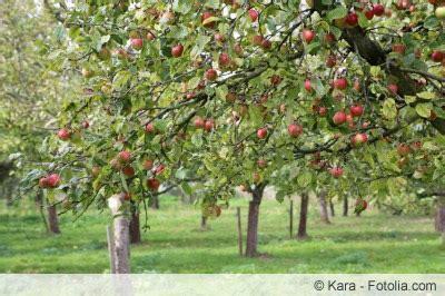 apfelbaum mehrere sorten alte apfelsorten in deutschland 220 bersicht