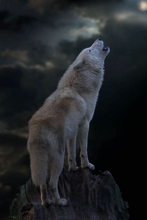 Wolf Howl Mountain Wolves a white wolf howling on a chilly s